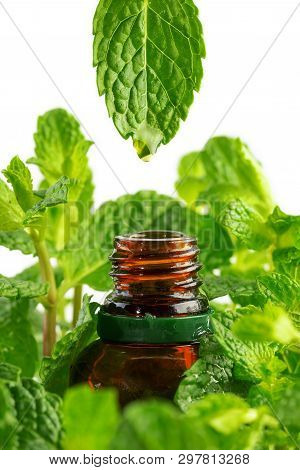 Essence From Mint Plant Drips Into A Cosmetic Bottle. Essential Oil Dripping From Leaf To The Bottle
