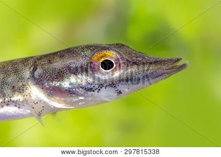 Freshwater Young Northern Pike Fish Know As Esox Lucius, Snoek Swimming