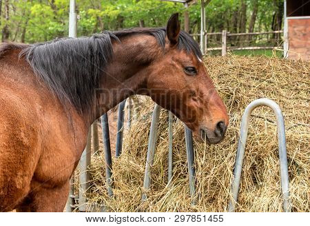 Profile Of A Brown Horse That Is Eating Hay In A Farm Stable.