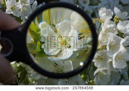 Magnifier Increases White Flowers On An Apple Tree Branch