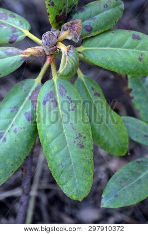 Leaves of rhododendron damaged by Fusarium oxysporum or Phytophthora cinnamomi Rands, fungal diseases of rhododendrons