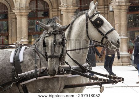 Two Horses Standing On The Street Against A Background Of Falling Snow. Horses In Draught And Blinde