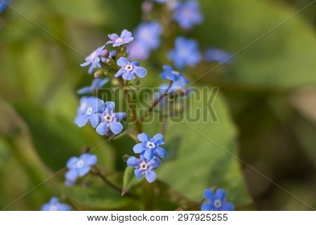 Myosotis Alpestris Or Alpine Forget Me Not Is A Herbaceous Perennial Plant In The Flowering Plant Fa