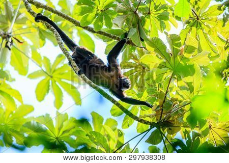 Mantled howler monkey on a tree in teh rainforest in Costa Rica