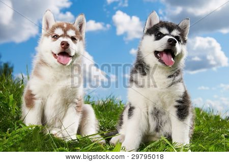 two little puppy of Siberian husky dog of one month isolated on green grass