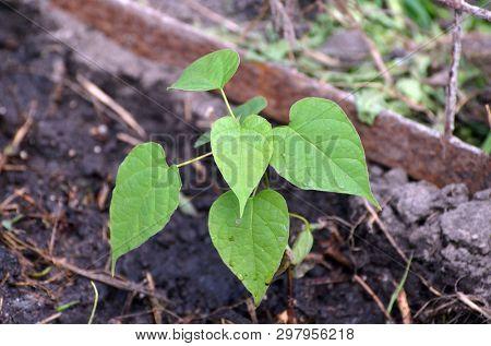 Seedling of Catalpa Bignonioides in the open ground