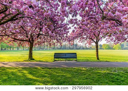 Benches On A Path With Green Grass And Cherry Blossom Or Sakura Flower.