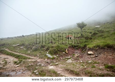 La Rhune, France: Foal Grazing On A Hillside In The Fog.  Young Horse Eating Green Fresh Grass In A