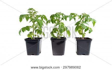 Pack Of Three Tomato Seedlings Isolated Against White Background