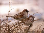 Two house sparrows sitting at a bunch poster
