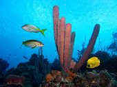 Purple tube sponges with yellowtail Snappers and a masked Butterfly fish in the Caribbean Sea poster