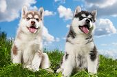 two little puppy of Siberian husky dog of one month isolated on green grass poster