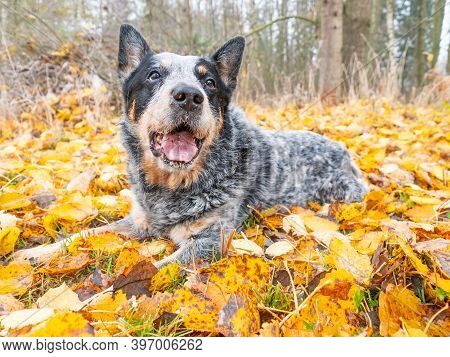 Dog Is Playing In Yellow Orange Leaves. Grey Family Friend Dog  Is Rolling In Colorful Leaves In The