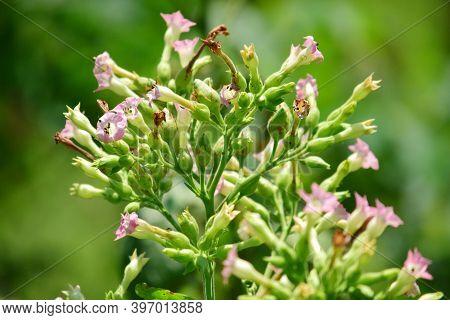 Tobacco Flower - Close Up Detail Of Tobacco Flower, Tobacco Flower Blooming In Garden