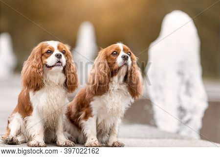 Two Young Cavalier King Charles Spaniel Dogs Are Near Water Fountain At Nature