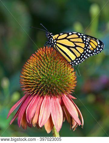 Monarch Butterfly On Pastel Colored Coneflower In Flower Garden.