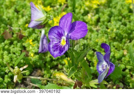 Viola Tricolor, Or Pansies In A Flower Bed Close-up