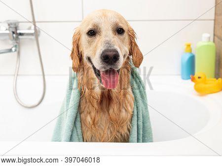 Golden retriever dog in bathtub after washing