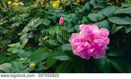 Flowering Bush Of Hibiscus Mutabilis, Also Known As The Confederate Rose, Dixie Rosemallow, Cotton R
