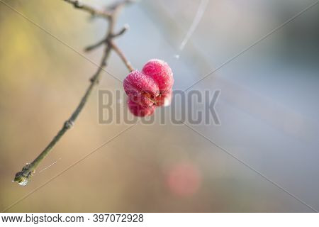 Pink Fruit With Hoar Frost Of A Spindle Shrub (euonymus Europaeus) Against A Blurry Background With