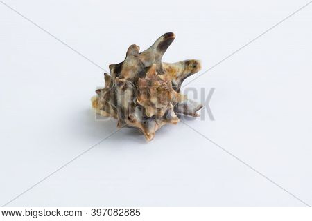 Marine Life: Brown Spiny Itchy Gastropod Seashell Close-up On White