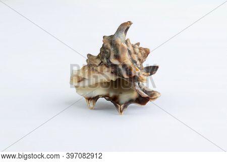 Marine Life: Light Spiny Itchy Gastropod Seashell Close-up On White
