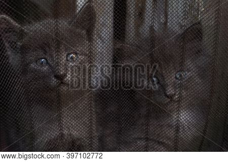 Two Gray Fluffy Kittens Sit Behind A Curtain