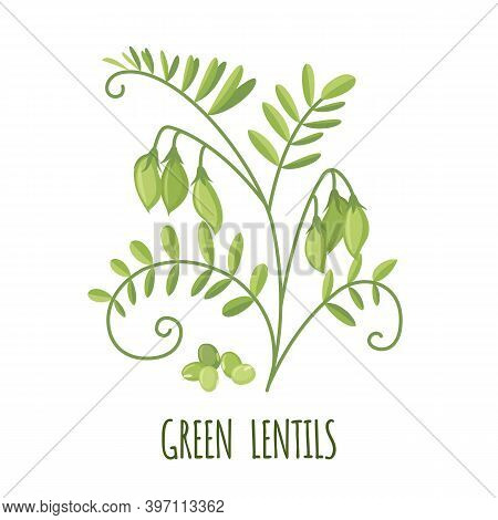 Vector Green Lentil Plant Icon In Flat Style Isolated On White.