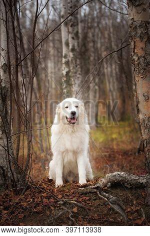 Portrait Of Big Beautiful Maremma Dog Sitting In The Autumn Forest. White Fluffy Italian Sheepdog