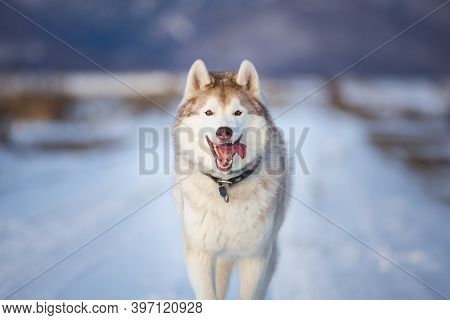 Happy Dog Breed Siberian Husky Running In The Winter Field On Mountains Background.