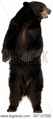 A Standing Male Grizzly Bear With A Black Fur, Watchful Eyes At White Background.