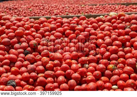 Tomatoes Background. Group Of Fresh Harvested Tomatoes.