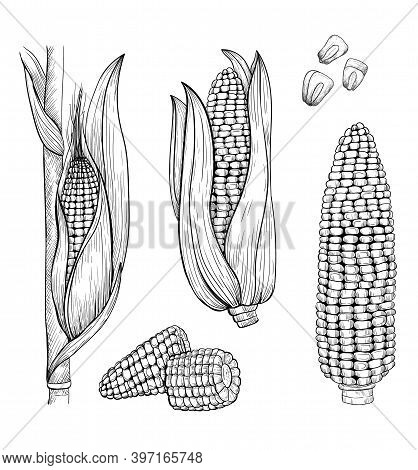 Corn Isolated Icons On White Background. Hand Drawn Corn Stalk Vector Illustration.