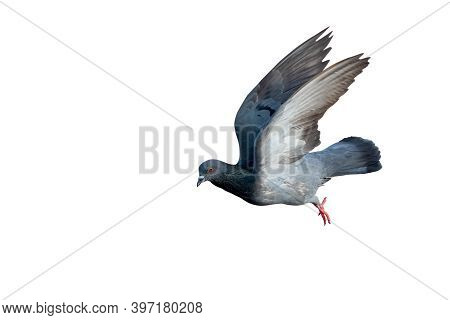 Movement Scene Of Rock Pigeon Flying In The Air Isolated On White Background With Clipping Path