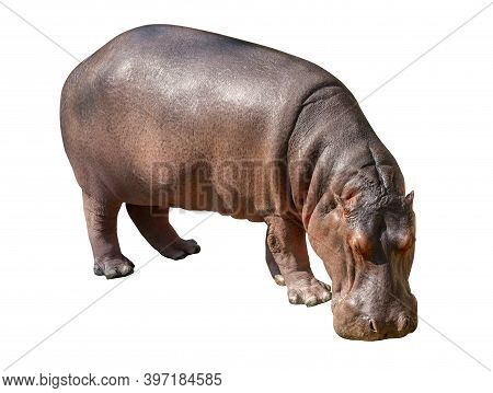 Isolated Hippopotamus On White Background, Hippopotamus Head Down On The Ground To Eat.