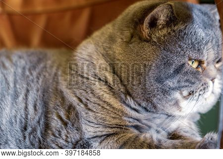 Side View Of Cosy Gray British Shorthair Cat On The Office Chair.