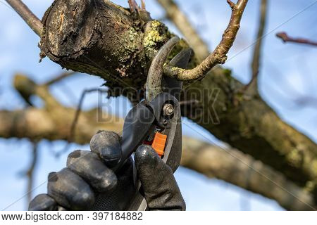 Gardener With Black Gloves And Pruning Shears Cutting Apple Tree Branch Outside In  Sunny Autumn Day