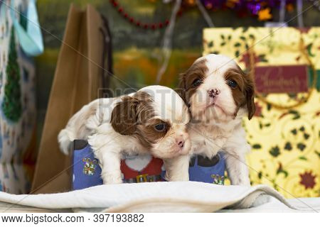 Two Puppies, Small Dogs Cavalier King Charles Spaniel For Christmas By A Christmas Tree, Postcard.