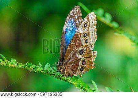Blue Morpho Butterfly, Morpho Peleides Isolated On Green Leaf.