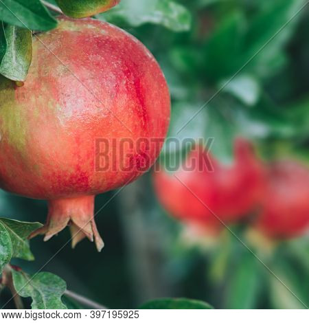 Close Up View Of Ripe Colorful Pomegranate Fruit On Pomegranate Tree. Organic Pomegranate On Branch.