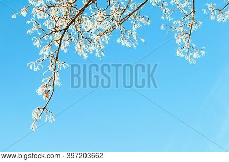 Christmas background, Christmas card, Christmas natural landscape. Winter trees with snowy branches against blue sky, winter landscape of snowy tree branches