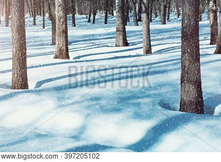 Christmas morning in the forest, Christmas natural landscape, Christmas nature. Winter Christmas landscape, morning winter forest under falling snow in sunny weather, winter forest scene with snowfall