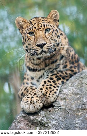 Amur Leopard Is A Leopard Subspecies Native To The Primorye Region Of Southeastern Russia And Northe