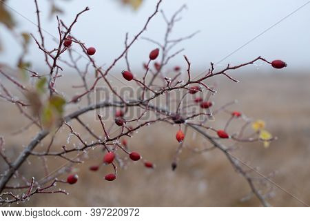 Frozen Branches In Nature. Nature Winter Background Of Frozen Rose Hip. Frozen Tree Leaves In Nature