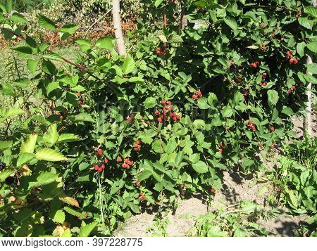 Blackberry Grows In The Garden. Ripe And Unripe Blackberry On A Background Of Berry Bush. Natural Ph