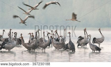Cranes In The Morning Mist On The Lake, Some Of Them Depart To The Feeding Ground.bory Tucholskie Na