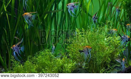 Shoal Of Beauty Scalars. Green Algae On Background