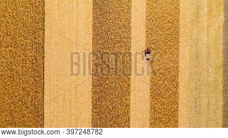 Aerial Top View Of Agricultural Harvester Is Cutting And Harvesting Mature Corn On Farm Fields.