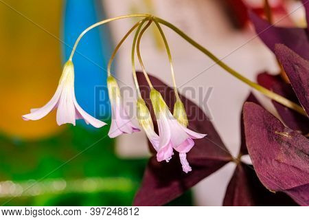 Macrophotography Of Flowers Of Oxalis Room Sour. Macro, Selective Shot.