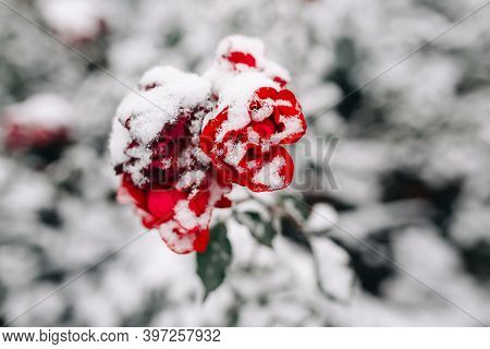 Red Rose On A Bush Covered With Snow At A Winter Park. Green Bush Of Dark Red Roses Flowers Under Th
